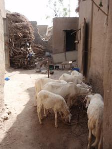 269_Mopti  The Fula Quarter  Everything  Goats, Woods, Hays