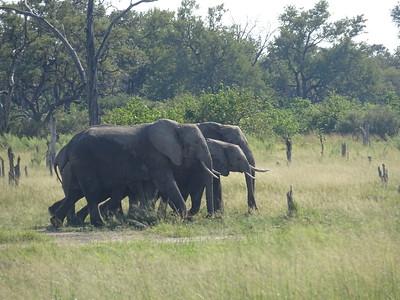 092_Okavango Delta, Moremi Game Reserve  4WD Safari  African Elephant  If facing an Elephant, don't move