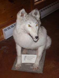 023_Labrador City  The Interpretation Center  Canadian Wolf