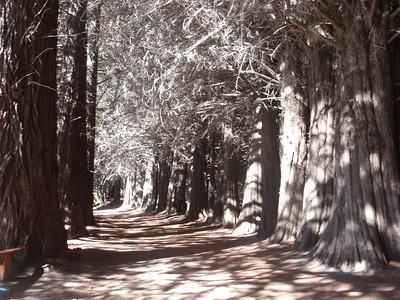 341_Parque Nacional Nahuel Huapi  Lago Nahuel Huapi  Victoria Island  Sequoias Alley jpg
