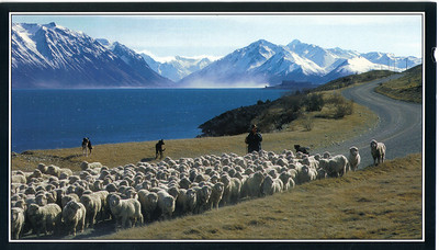 697_The rugged eastern side of Lake Tekapo  The Merino sheep can be seen all over NZ